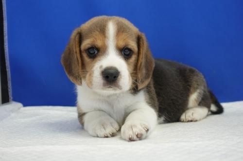 ビーグルの子犬(ID:1272811009)の4枚目の写真/更新日:2020-10-08