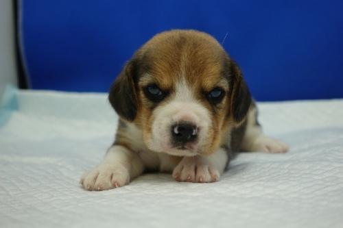 ビーグルの子犬(ID:1272811010)の1枚目の写真/更新日:2018-07-31