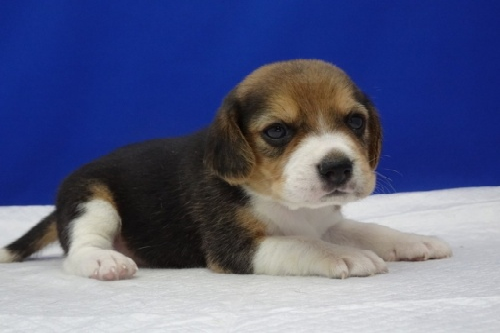 ビーグルの子犬(ID:1272811010)の2枚目の写真/更新日:2020-10-08