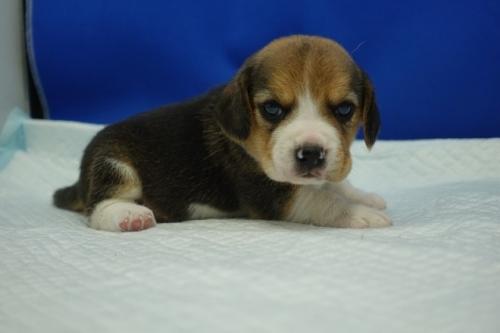 ビーグルの子犬(ID:1272811010)の3枚目の写真/更新日:2020-10-08