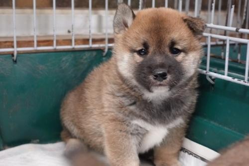 柴犬の子犬(ID:1272811011)の2枚目の写真/更新日:2018-08-03