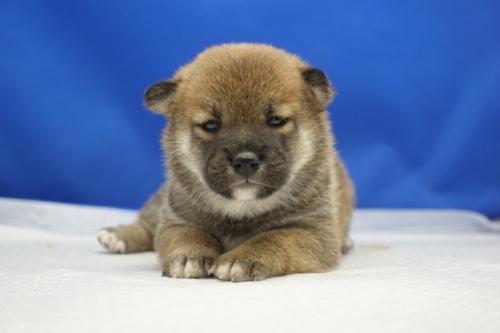 柴犬の子犬(ID:1272811013)の1枚目の写真/更新日:2018-08-03