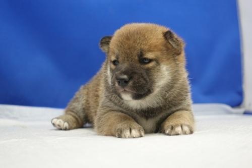 柴犬の子犬(ID:1272811013)の2枚目の写真/更新日:2018-08-03