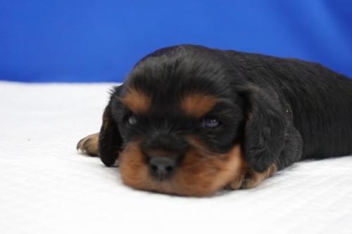 キャバリアの子犬(ID:1272811015)の1枚目の写真/更新日:2018-08-09