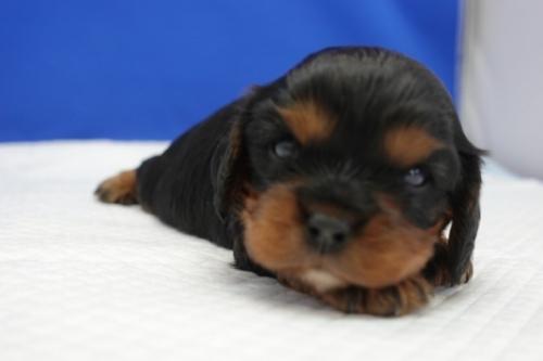 キャバリアの子犬(ID:1272811015)の2枚目の写真/更新日:2018-08-09