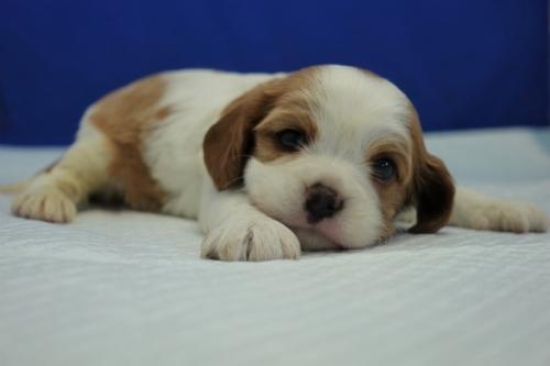 キャバリアの子犬(ID:1272811016)の1枚目の写真/更新日:2018-08-09