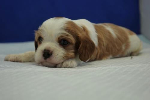 キャバリアの子犬(ID:1272811016)の2枚目の写真/更新日:2018-08-09
