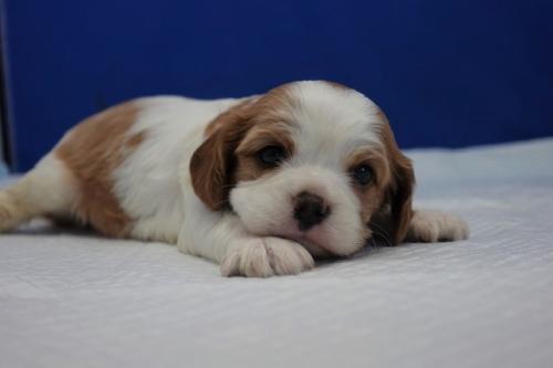 キャバリアの子犬(ID:1272811016)の3枚目の写真/更新日:2018-08-09