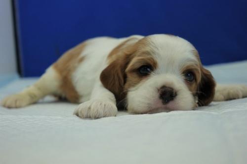 キャバリアの子犬(ID:1272811016)の4枚目の写真/更新日:2020-09-30