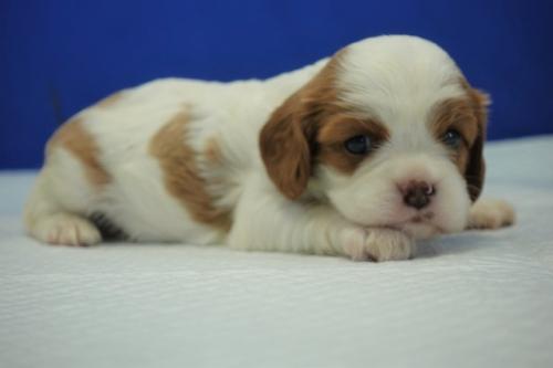 キャバリアの子犬(ID:1272811018)の4枚目の写真/更新日:2019-03-18