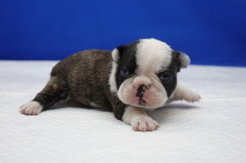 キャバリアの子犬(ID:1272811019)の2枚目の写真/更新日:2018-08-16