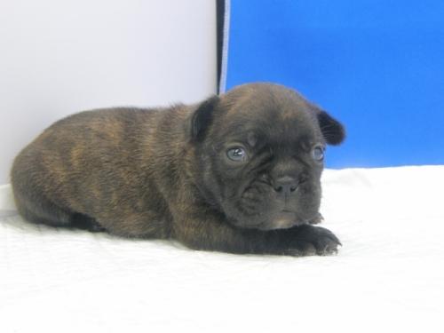 キャバリアの子犬(ID:1272811020)の1枚目の写真/更新日:2018-08-16
