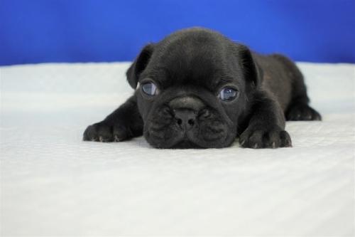 フレンチブルドッグの子犬(ID:1272811021)の1枚目の写真/更新日:2018-08-03
