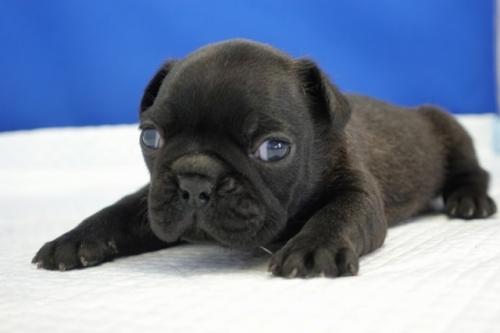 フレンチブルドッグの子犬(ID:1272811021)の2枚目の写真/更新日:2018-08-16