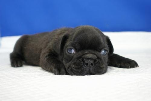 フレンチブルドッグの子犬(ID:1272811021)の3枚目の写真/更新日:2018-08-16