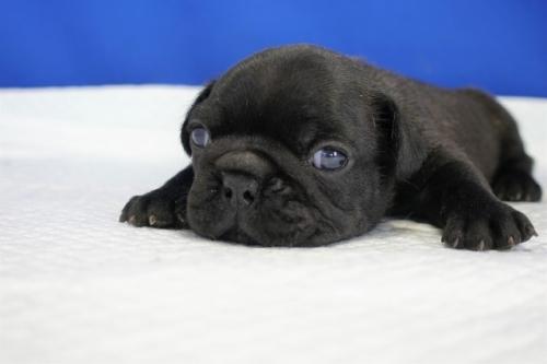 フレンチブルドッグの子犬(ID:1272811021)の4枚目の写真/更新日:2021-01-04