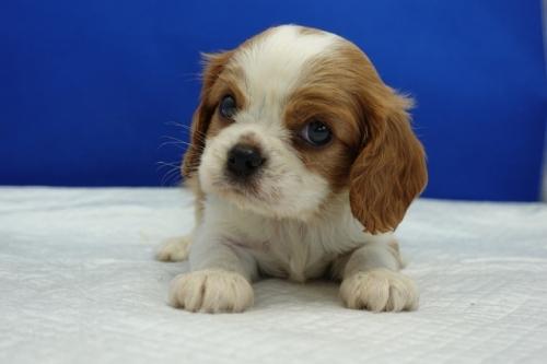 キャバリアの子犬(ID:1272811022)の1枚目の写真/更新日:2020-09-30