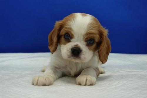 キャバリアの子犬(ID:1272811022)の2枚目の写真/更新日:2020-09-30