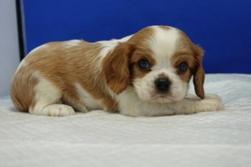 フレンチブルドッグの子犬(ID:1272811022)の3枚目の写真/更新日:2018-08-16