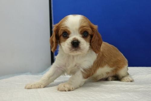 キャバリアの子犬(ID:1272811022)の4枚目の写真/更新日:2019-03-15