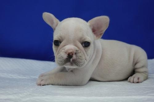 フレンチブルドッグの子犬(ID:1272811023)の1枚目の写真/更新日:2020-01-04