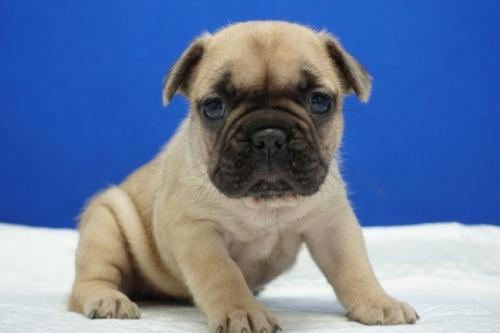 フレンチブルドッグの子犬(ID:1272811024)の1枚目の写真/更新日:2018-08-19