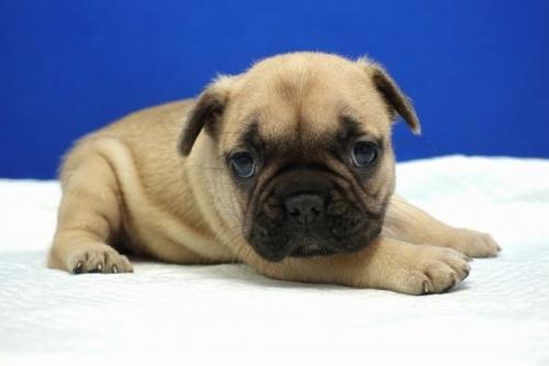 フレンチブルドッグの子犬(ID:1272811024)の2枚目の写真/更新日:2020-01-04