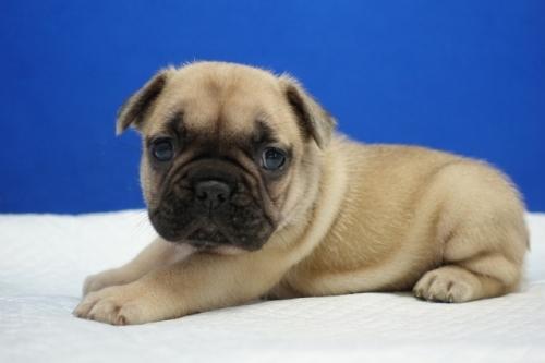 フレンチブルドッグの子犬(ID:1272811024)の3枚目の写真/更新日:2019-07-31