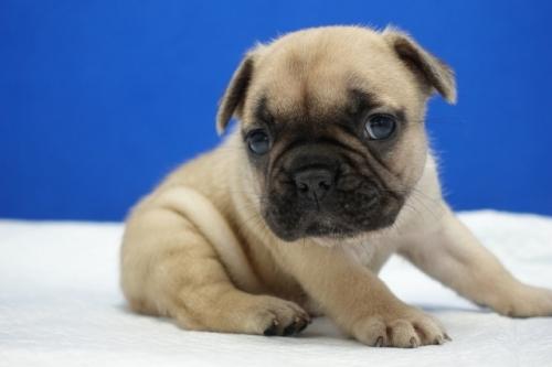 フレンチブルドッグの子犬(ID:1272811024)の4枚目の写真/更新日:2019-07-31
