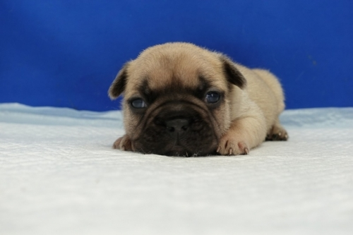 フレンチブルドッグの子犬(ID:1272811024)の5枚目の写真/更新日:2021-10-14