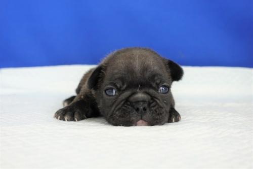 フレンチブルドッグの子犬(ID:1272811025)の4枚目の写真/更新日:2021-07-02