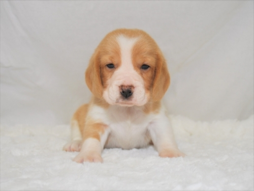 ビーグルの子犬(ID:1272811026)の1枚目の写真/更新日:2019-04-29