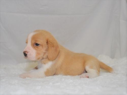 ビーグルの子犬(ID:1272811026)の2枚目の写真/更新日:2019-04-29