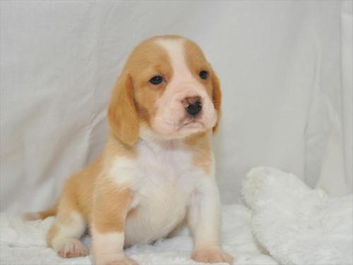 ビーグルの子犬(ID:1272811026)の3枚目の写真/更新日:2019-04-29