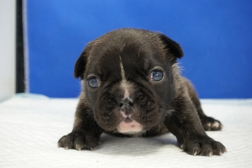 フレンチブルドッグの子犬(ID:1272811028)の1枚目の写真/更新日:2021-01-29