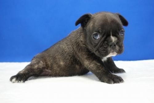 フレンチブルドッグの子犬(ID:1272811028)の2枚目の写真/更新日:2021-01-29