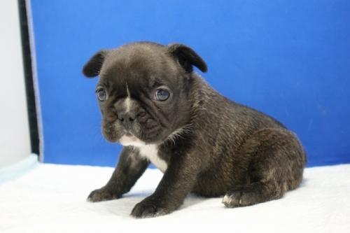 フレンチブルドッグの子犬(ID:1272811028)の3枚目の写真/更新日:2021-01-29