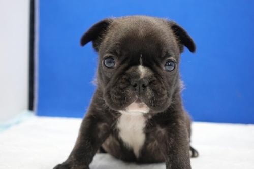 フレンチブルドッグの子犬(ID:1272811028)の4枚目の写真/更新日:2021-01-04