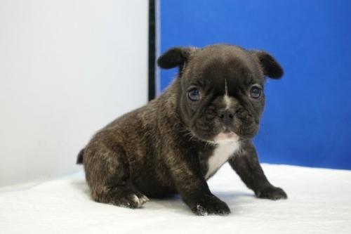 フレンチブルドッグの子犬(ID:1272811028)の5枚目の写真/更新日:2021-08-26