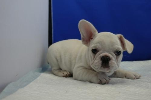 フレンチブルドッグの子犬(ID:1272811032)の2枚目の写真/更新日:2018-09-05