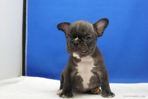 フレンチブルドッグの子犬(ID:1272811034)の4枚目の写真/更新日:2021-01-04