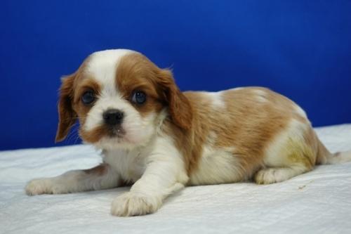 キャバリアの子犬(ID:1272811035)の1枚目の写真/更新日:2018-10-03