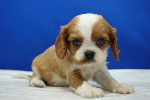 キャバリアの子犬(ID:1272811035)の2枚目の写真/更新日:2018-10-03