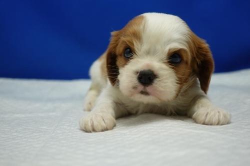 キャバリアの子犬(ID:1272811036)の1枚目の写真/更新日:2021-08-19