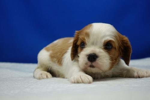 キャバリアの子犬(ID:1272811036)の3枚目の写真/更新日:2021-08-19