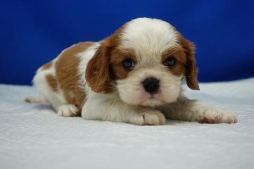 キャバリアの子犬(ID:1272811037)の1枚目の写真/更新日:2021-08-16