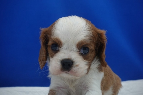 キャバリアの子犬(ID:1272811037)の2枚目の写真/更新日:2021-08-16