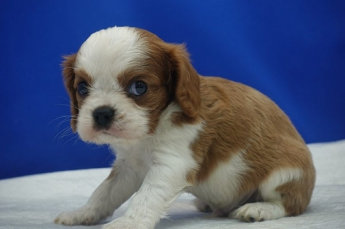 キャバリアの子犬(ID:1272811037)の3枚目の写真/更新日:2021-08-16