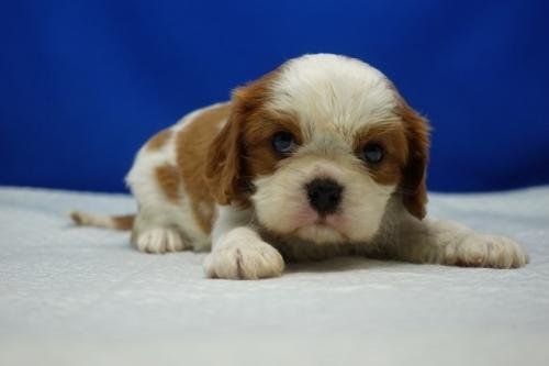 キャバリアの子犬(ID:1272811037)の4枚目の写真/更新日:2021-08-16