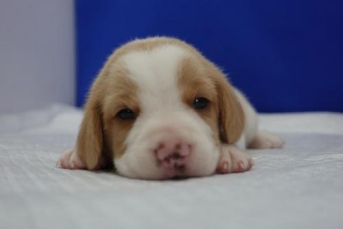 ビーグルの子犬(ID:1272811038)の1枚目の写真/更新日:2018-10-03